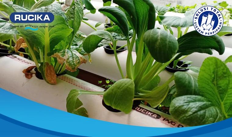Untuk kebun hidroponik gunakan pipa PVC dari Rucika