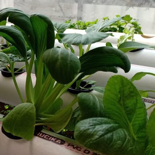 tanaman hidroponik gunakan Rucika